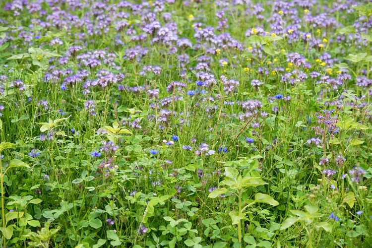 Full frame shot of purple flowering plants on field