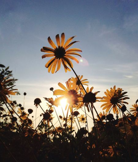 Flower Growth Nature Beauty In Nature Silhouette Petal Plant Sunset Fragility Freshness Flower Head Field Outdoors No People Blooming Sky Cosmos Flower Day Close-up