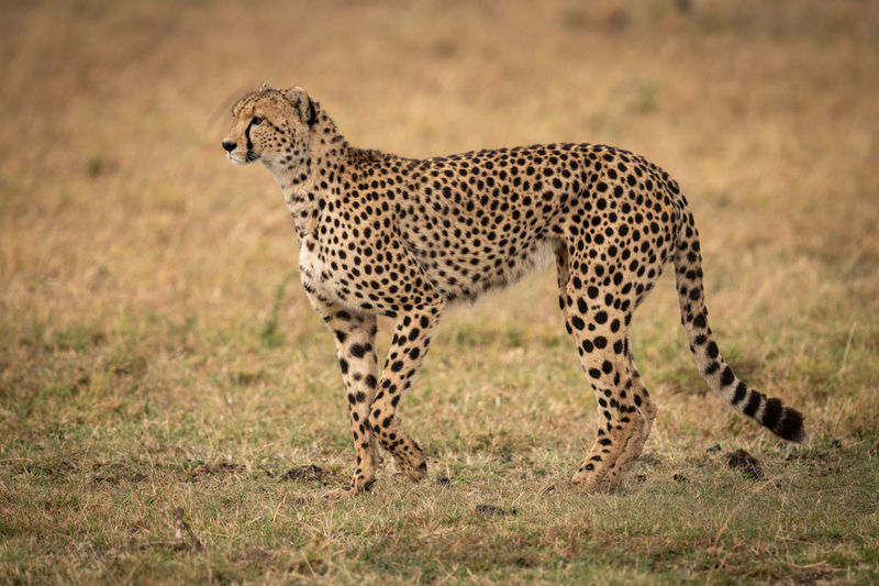 Cheetah on land