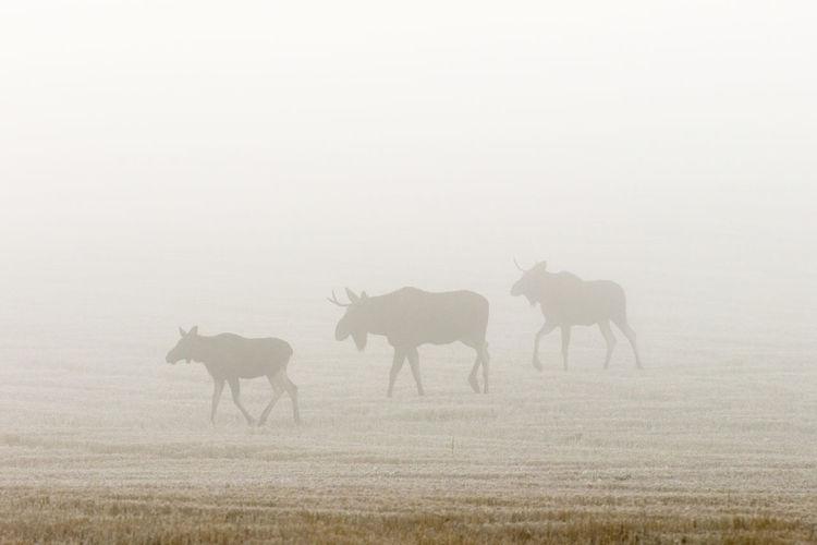 Bull moose in the autumn mist in a field