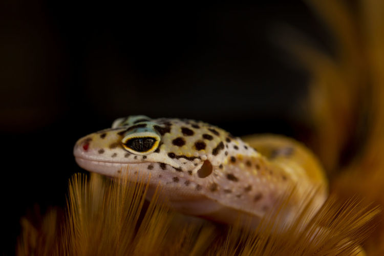 Hide Animal Eye Nature Animal Scale Natural Pattern Gecko Lizard Indoors  Animal Head  Yellow Animal Body Part Spotted Animals In The Wild Close-up Reptile Animal Wildlife Animal One Animal Animal Themes EyeEm Best Shots EyeEm Nature Lover EyeEm Selects EyeEmNewHere