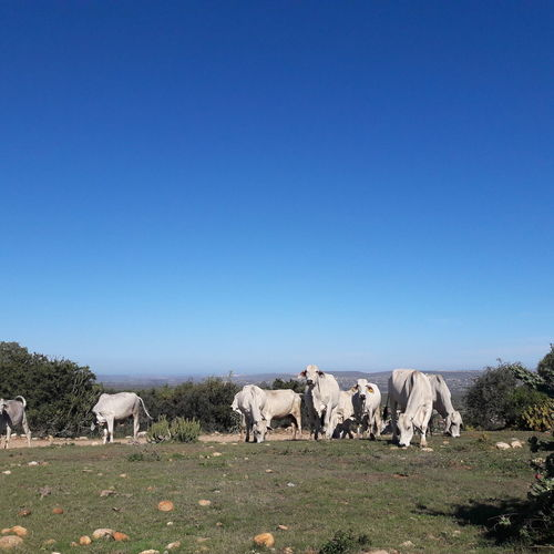 cows Cows Nguni Nguni Cattle Grazing Wandering Herd White Blue Sky Grazing Clear Sky Agriculture Group Of Animals Taurus Herd Sky Animal Themes