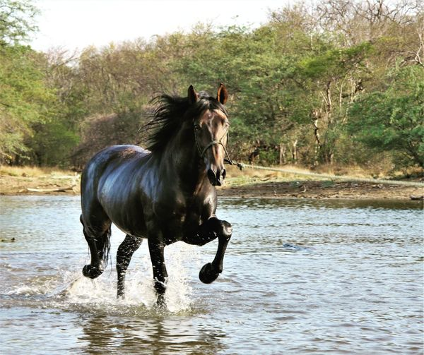 Horse running in a forest