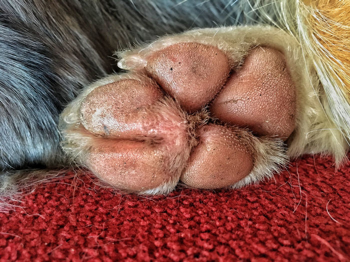 Conjoined Paw pads Blue Merle Border Collie Foot Paw Pad Pink Pink Paw The Week On EyeEm Webbed Feet Canine Close-up Conjoined Conjoined Paw Pads Dog Health Mammal No People Paw Paw Pads Paws Skin Toes Vet