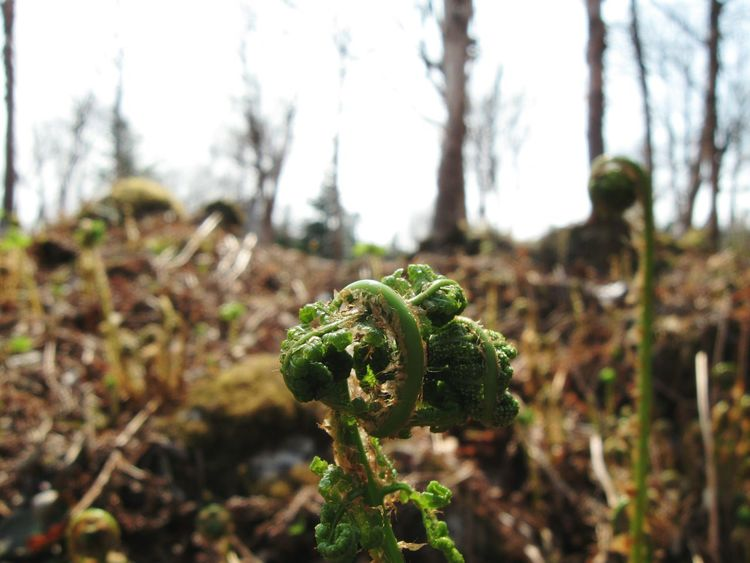 Macro Macro Nature Fiddleheads Hiking Trail Newfoundland Gros Morne Bakers Brook Falls Nature Photography Nature The Great Outdoors - 2016 EyeEm Awards