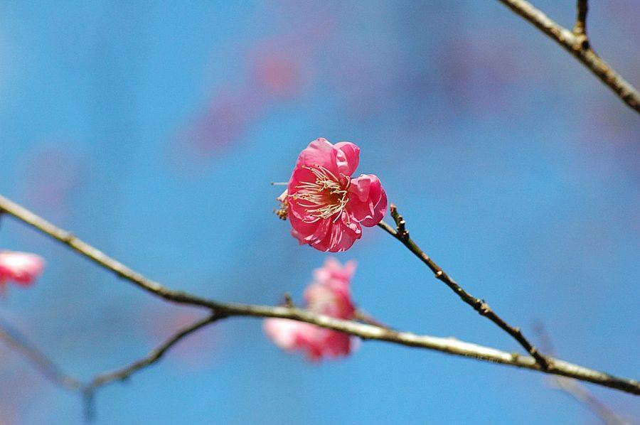 早咲きの梅 EyeEm Nature Lover Flowers Fleshyplants Pink 梅 Blossom EyeEm Flower Winter Blue Sky