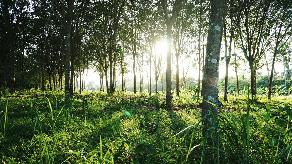 Growth Nature Tree Green Color Beauty In Nature Tranquility Abundance No People Outdoors Scenics Day Plant Forest Landscape Grass Lush - Description Freshness Sky Rubber Trees Rubber Plantation Rubber The Great Outdoors - 2017 EyeEm Awards Neighborhood Map Live For The Story Sommergefühle Been There.