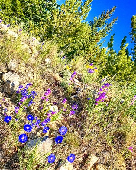 Where the wildflowers roam 💜 Nature Growth Colorado Outdoor Life Flower Beauty In Nature Day Plant No People Field Outdoors Tranquility Fragility Uncultivated Multi Colored Freshness Tree Grass Flower Head Sky Colorado Photography Coloradophotographer Coloradogram Colorado Mountians
