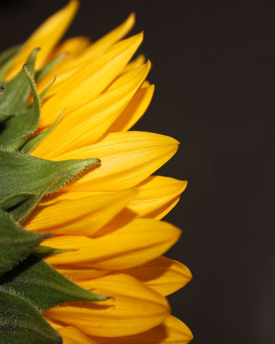 Flowering Plant Flower Petal Flower Head Yellow Close-up Beauty In Nature Black Background Plant Studio Shot Indoors  No People Nature Sunflower