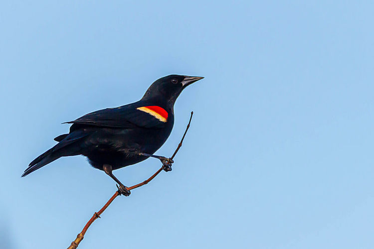 Bird Animal Themes Animal Animal Wildlife Animals In The Wild Vertebrate One Animal Perching Sky No People Clear Sky Copy Space Low Angle View Day Black Color Nature Blue Outdoors Beauty In Nature Beak
