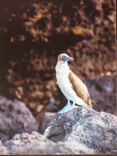Bobbies blue footed Blue Footed Bird Animals In The Wild Animal Themes One Animal Perching Animal Wildlife Day No People Outdoors Focus On Foreground Nature Close-up Go Higher
