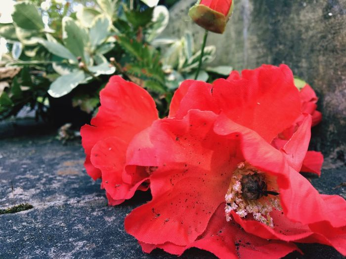 War Memorial Popies Plant Red Flower Beauty In Nature Close-up Flowering Plant Growth