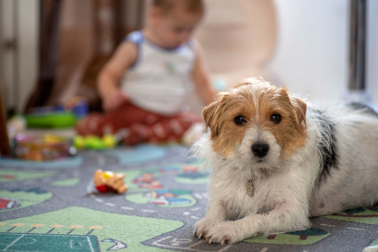 Day view sad jack russel dog laying on carpet indoor with a baby playing on background Canine Child Childhood Dog Domestic Domestic Animals Focus On Foreground Full Length Innocence Mammal Men Offspring One Animal People Pet Owner Pets Real People Sitting Small