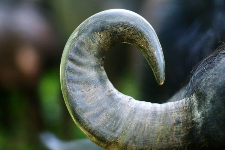 Close-up No People Nature Day Outdoors Animal Wildlife Animal Themes Animals In Captivity Carabao Horn Carabaos Carabao Island Horns Animal Head  Animal_collection Animal Photography Animals Animal Nature Animals In The Wild One Animal Domestic Animals Mammal Animal Trunk Agriculture