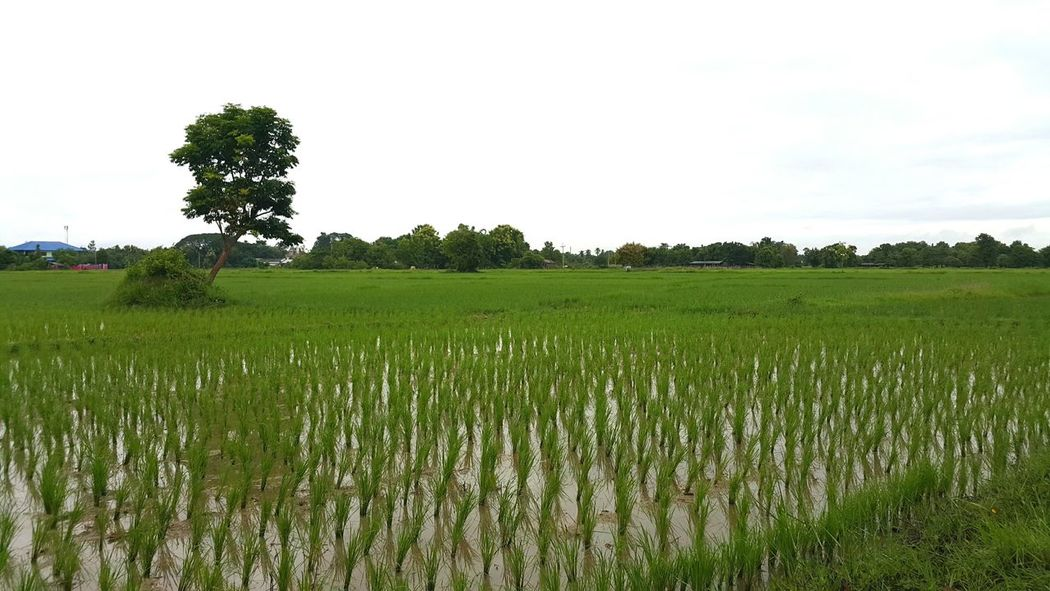 Agriculture Field Farm Crop  Tree Growth Rural Scene Landscape Nature Vegetable Cloud - Sky Social Issues Cereal Plant Tranquility Rice Paddy Beauty In Nature Irrigation Equipment Food No People Outdoors