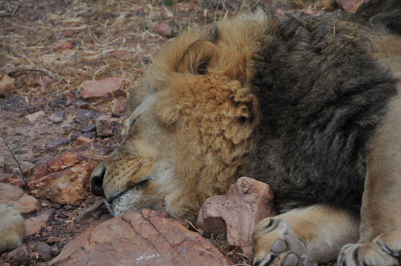 Animal Themes Animal Wildlife Animals In The Wild Aquila Game Reserve Close-up Day King Lion Mammal Nature No People One Animal Outdoors Sleepiing