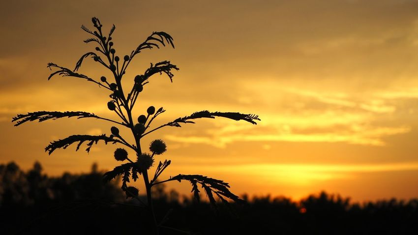 EyeEm Selects Silhouette Sunset Landscape Gold Colored Nature Tree Sky Plant Backgrounds Sun Tranquil Scene Sunlight Yellow Leaf Rural Scene Scenics Beauty Beauty In Nature Golden Light Golden Sky