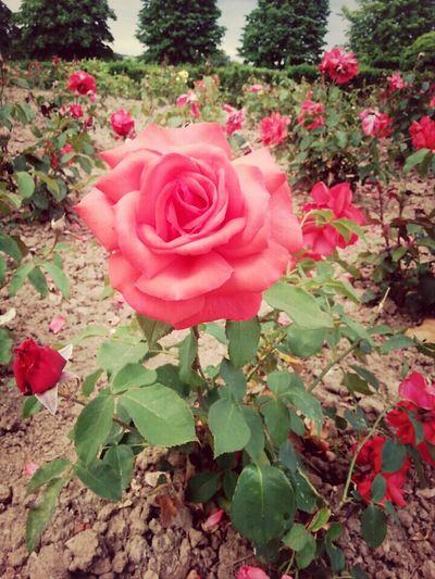 Die Blume der Liebe,die Rose.