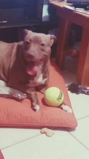 I got a new ball I Got A New Ball New Toy Giant Tennis Ball Honey Rescue Dog My Pibble Baby Girl Pitbull Lives Matter Pitbull Lover Not A Fighter Pet Photography