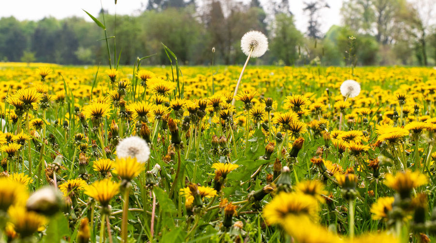 EyeEm Nature Lover Outdoors Green Color Dandelion Flower Head Nature No People Selective Focus Flowering Plant Flower Yellow Beauty In Nature Environment
