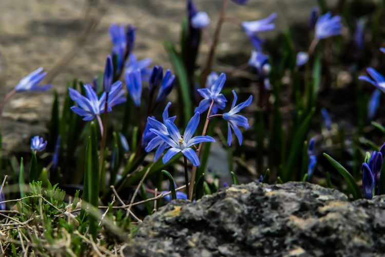 Beauty In Nature Blooming Blue Close-up Crocus Day Flower Flower Head Fragility Freshness Growth Nature No People Outdoors Petal Plant Purple