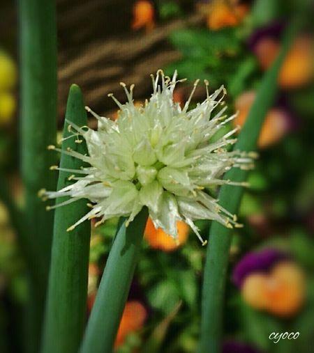 ネギ ねぎの花 ねぎぼうず Onion Head Flower Flower Collection Ultimate Japan Flowers Photography Eyeem Photography EyeEm Gallery EyeEm Nature Lover Japan