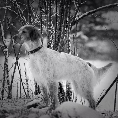 Blackandwhite Dog Black And White Winter Snow TheMinimals (less Edit Juxt Photography) Bw_dogs Bnw Noir Et Blanc English Setter All_shots
