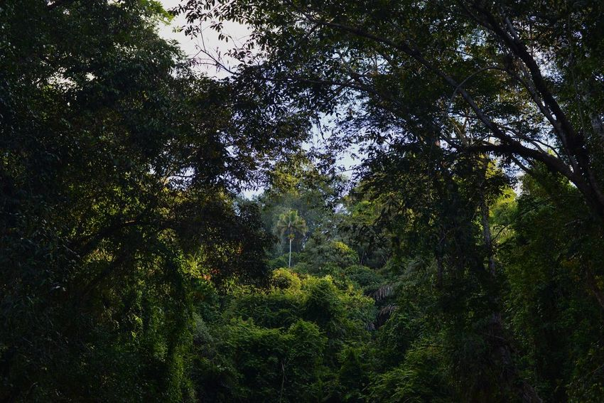 Borneo Beauty In Nature Forest Green Color Growth Nature No People Rainforest Scenics Tranquility Tree