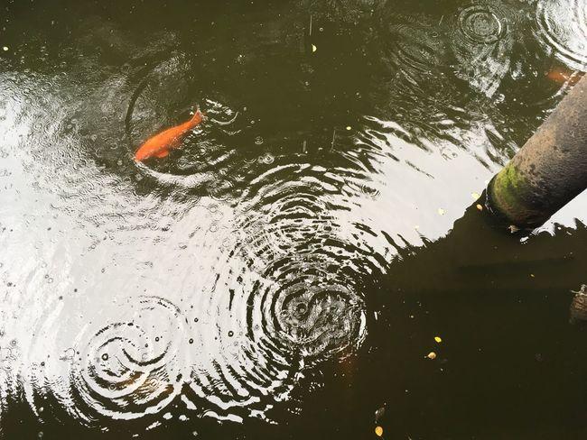 Peaceful Orange Rainy Fish Water