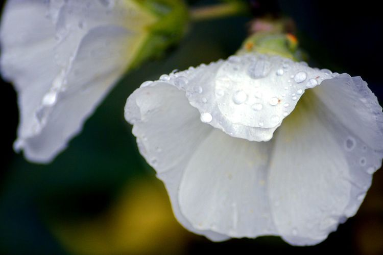 White Color Close-up No People Nature Beauty In Nature Freshness Water Flower Bud Hollyhocks Beauty In Nature Flower Head Flower Fragility Rain Drops On Petals The Week On EyeEm
