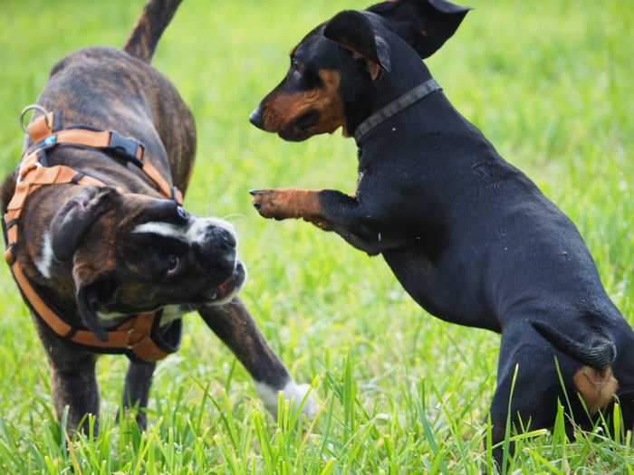 Karate Kids Juno's World Capture The Moment I Love My Dog Boxer Enjoying Life