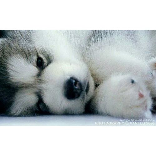 Can Somebody PLEASE Give Me This Adorable Husky, I'm SO Inlove With Them!! 😍😍😍😍 HuskyLover Adorable Inlove