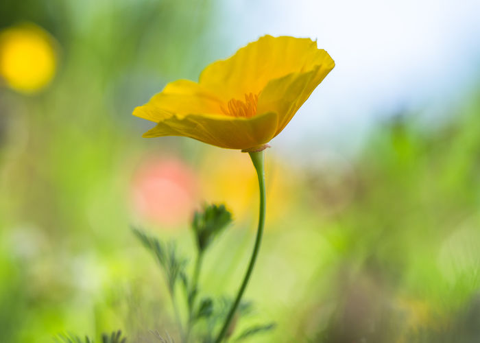 yellow poppy EyeEm Nature Lover Nature Olympus Yellow Flower Head Beauty In Nature Blooming Blossom Close-up Day Edithnerophotography Flower Flower Head Focus On Foreground Fragility Garden Growth Macro Nature No People Outdoors Petal Plant Summer Yellow Yellow Poppy