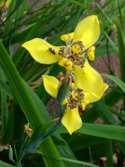 Flower Yellow Nature Beauty In Nature DELTA API Lombok Island Rumahalir NTB No People