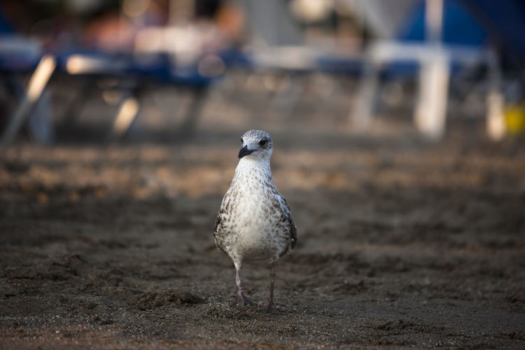 Animal Themes Beach Beachphotography Bird Close-up Day Focus On Foreground Nature Outdoors Portrait Seagu;; Selective Focus