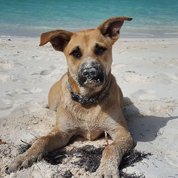 Dog Beach Looking At Camera Domestic Animals Mammal Portrait Water Nature Close-up Sky Sand Pets Exuma Bahamas Beach Life Beach Time Beach Ocean Bluewater Travellover Traveling Pupparazzi Reiselust Enjoying Life Outdoors Sommergefühle Connected By Travel