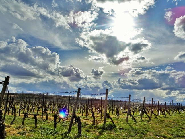 Agriculture Barrier Beauty In Nature Cloud - Sky Day Environment Fence Field Growth Land Landscape Nature No People Outdoors Plant Plantation Post Rural Scene Scenics - Nature Sky Tranquil Scene Tranquility Vineyard Winemaking Wooden Post