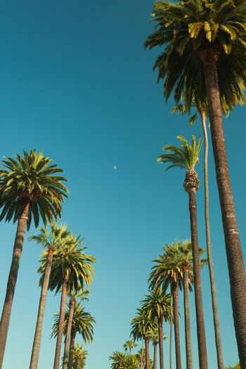 Tall palms of