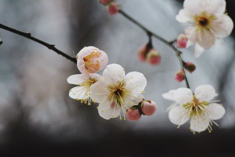 Japanese Plum Blossom Ume Blossom EyeEm Gallery EyeEm Masterclass EyeEm Best Shots - Flowers EyeEm Selects Plant Flower Flowering Plant Freshness Beauty In Nature Branch Flower Head Tree Blossom Petal Close-up White Color Inflorescence Pollen Springtime Vulnerability  Nature Sakura Cherry Blossom