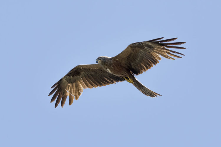 Low angle view of red kite flying against clear blue sky