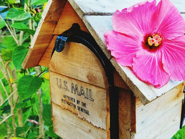 43 Golden Moments Pink Plants Hibiscus Flower Green Texas Plant Life Flowers Nature Hibiscus Pink Hibiscus Mailbox Wood Wood Mailbox U.s. Mail Colour Of Life