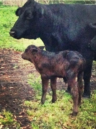 My cow had her baby! Idk what to name him....