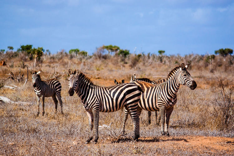 Zebras Standing On Field Against Sky At National Park