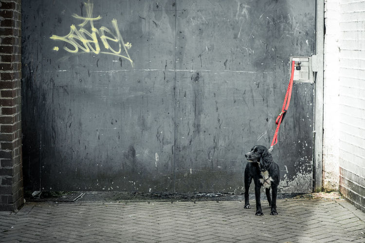 Lonely dog in leash