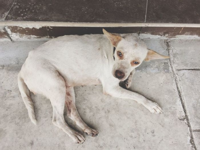High angle view of white stray dog lying on footpath