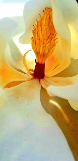 Petals Macro Photography Macro Macro_collection White Flower Yellow Flower Head Flower Multi Colored Petal Close-up Hibiscus Iris - Plant