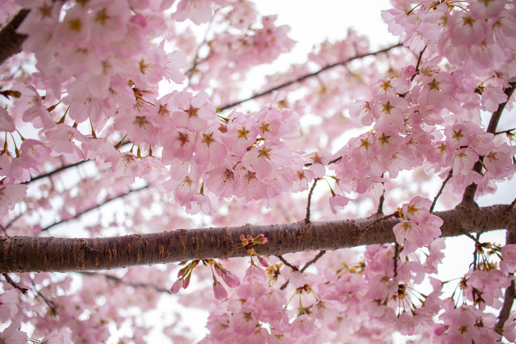 Cherry Blossoms on the campus of Cecil College in North East, Maryland. Cherry Blossoms Nature Tree Beauty In Nature Blossom Cherry Blossom Cherry Tree Day Flower Flower Head Flowering Plant Flowers Fragility Freshness Growth Nature No People Outdoors Pink Color Plant Springtime Vulnerability