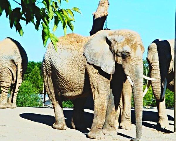 Elephants Wrinkles Zoo Toronto