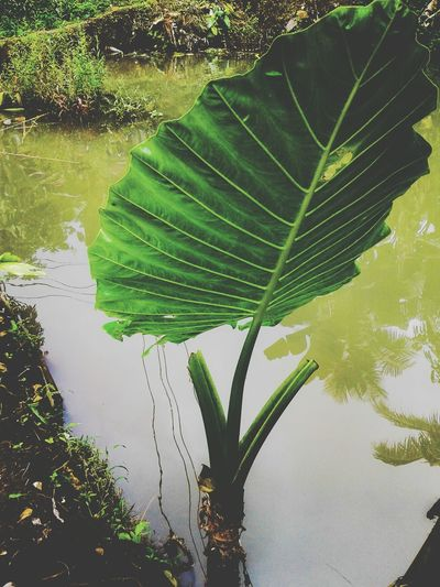 Eyeemphotography EyeEm Best Edits EyeEmBestPics EyeEm Nature Lover EyeEm EyeEm Selects The Week On EyeEm EyeEmNewHere Leaf Green Color Reflection Nature Water Plant No People Outdoors Day Tree Growth Beauty In Nature Rice Paddy Freshness Close-up