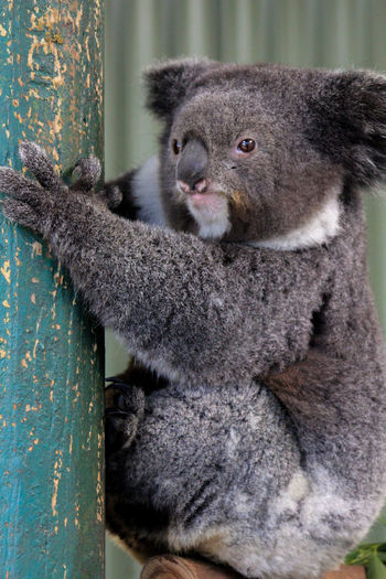 Close-up of koala relaxing on tree trunk